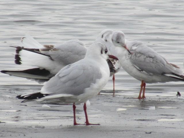 多摩川河口付近で羽繕いするユリカモメの群れ。