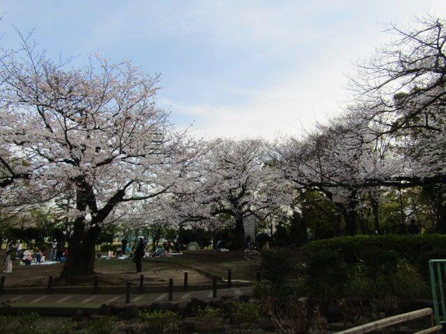 大田区萩中公園の桜の広場です。