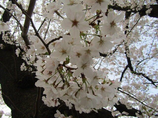 大田区萩中公園の桜です。