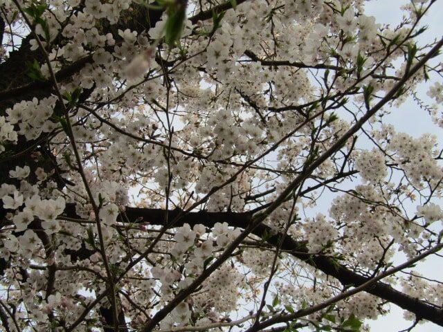 大田区の萩中公園の桜です。
