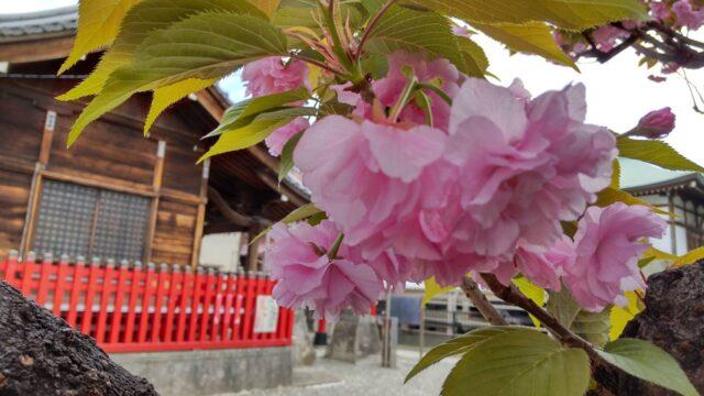 三徳稲荷神社の境内の八重桜です。