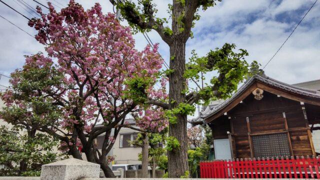 三徳稲荷の八重桜です。