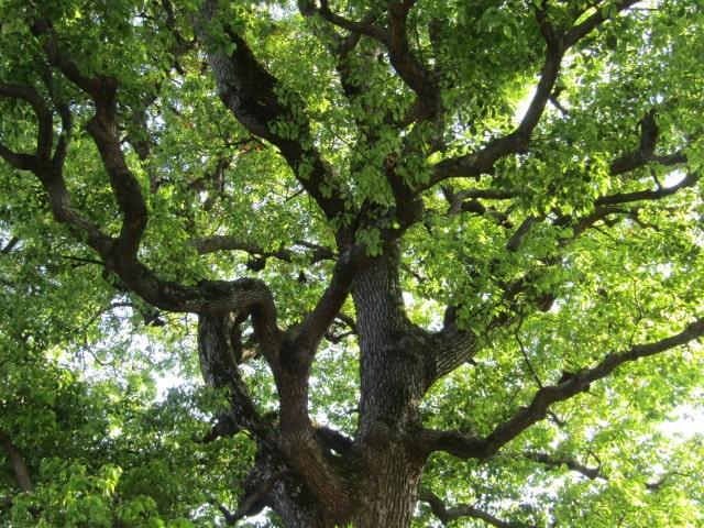 大福生寺の境内の木です。