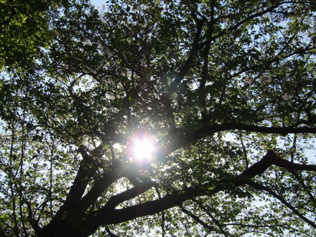 木の陰から除く太陽です。
