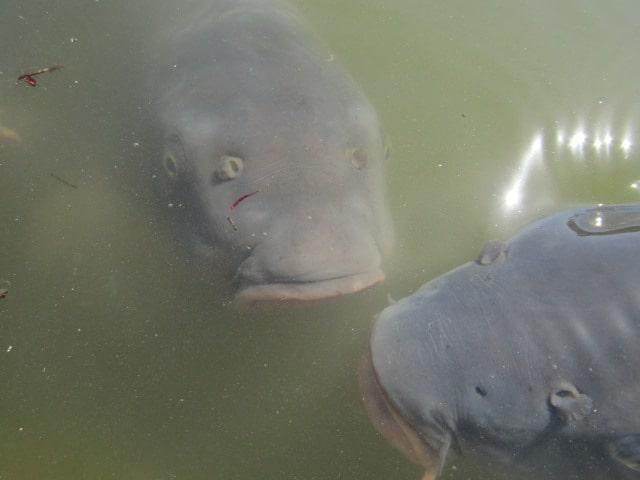 池の鯉です。