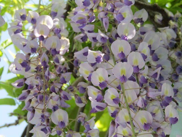藤棚の藤の花です。