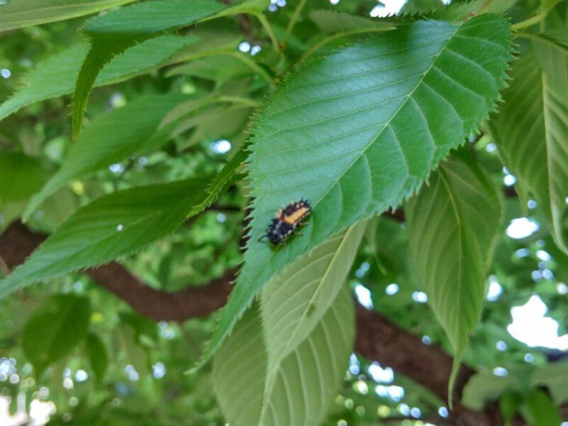 桜の葉っぱの上のテントウムシの幼虫です。