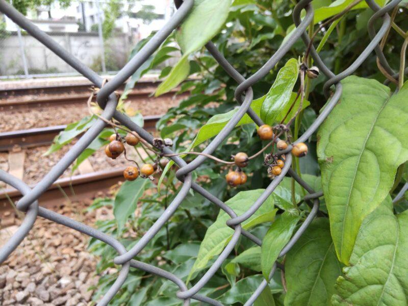 京急空港線の沿線の金網に蔓を巻いていたヘクソカズラです。
