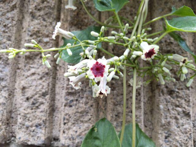 ヘクソカズラの花です。