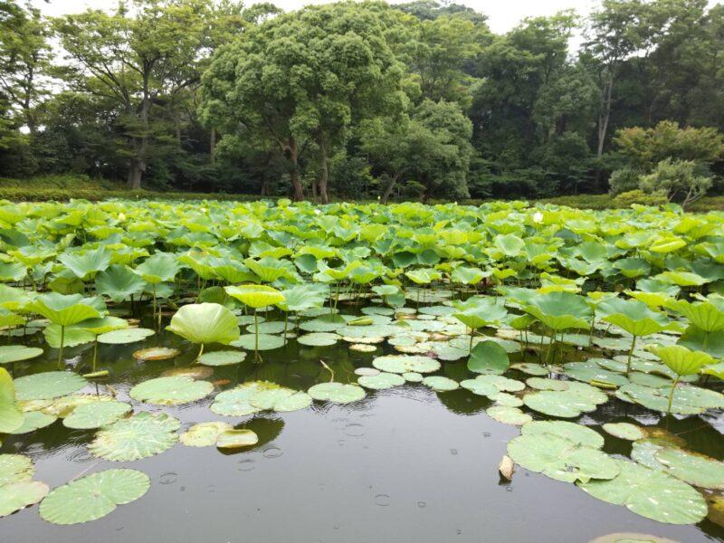 蓮の池です。