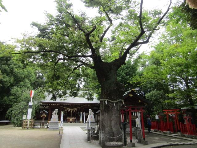 大田区の新田神社の御神木です。