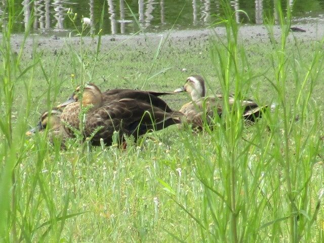 東京港野鳥公園の淡水池のカルガモです。