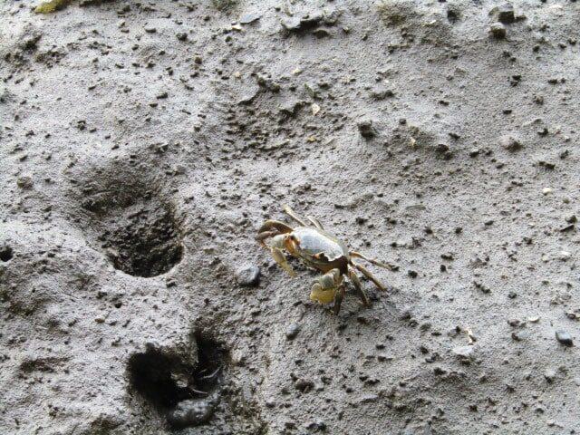 東京港野鳥公園の干潟の蟹です。