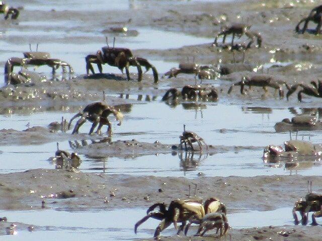 多摩川の干潟のヤマトオサガニです。
