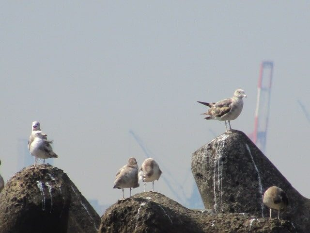 防波堤の上で羽を休めるカモメです。