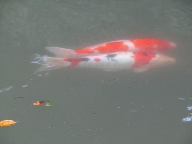 香取神宮の錦鯉です。