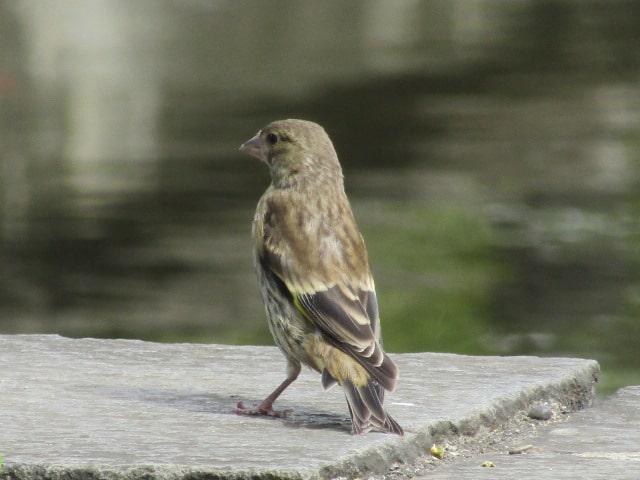 萩中公園のカワラヒワの幼鳥です。