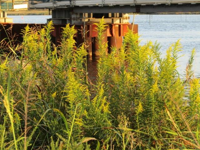 多摩川河口付近のセイタカアワダチソウです。
