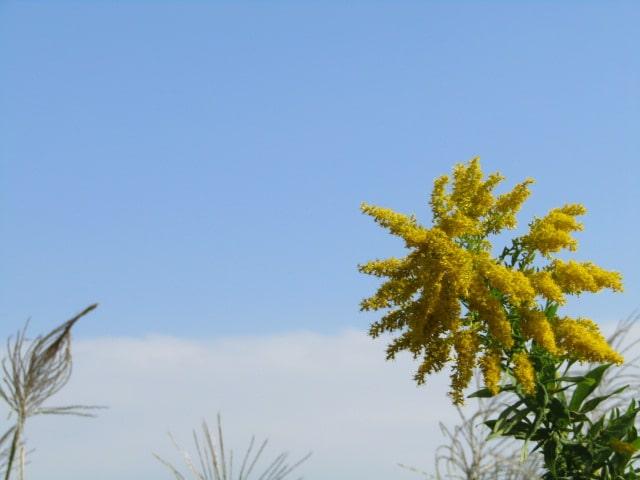 多摩川河川敷の空とセイタカアワダチソウです。