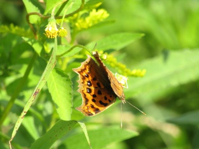 多摩川河川敷のタテハチョウです。